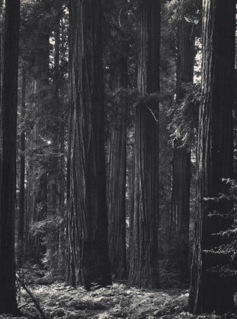 ANSEL ADAMS - Pacific Coast Redwoods