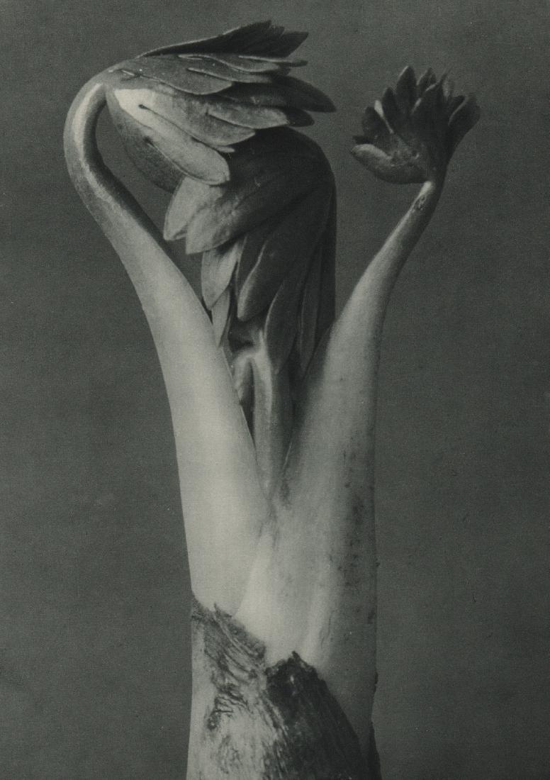 KARL BLOSSFELDT - Aconitum