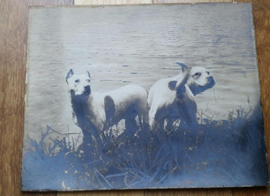 Antique Dog Photo Photograph of Pit Bull Terrier