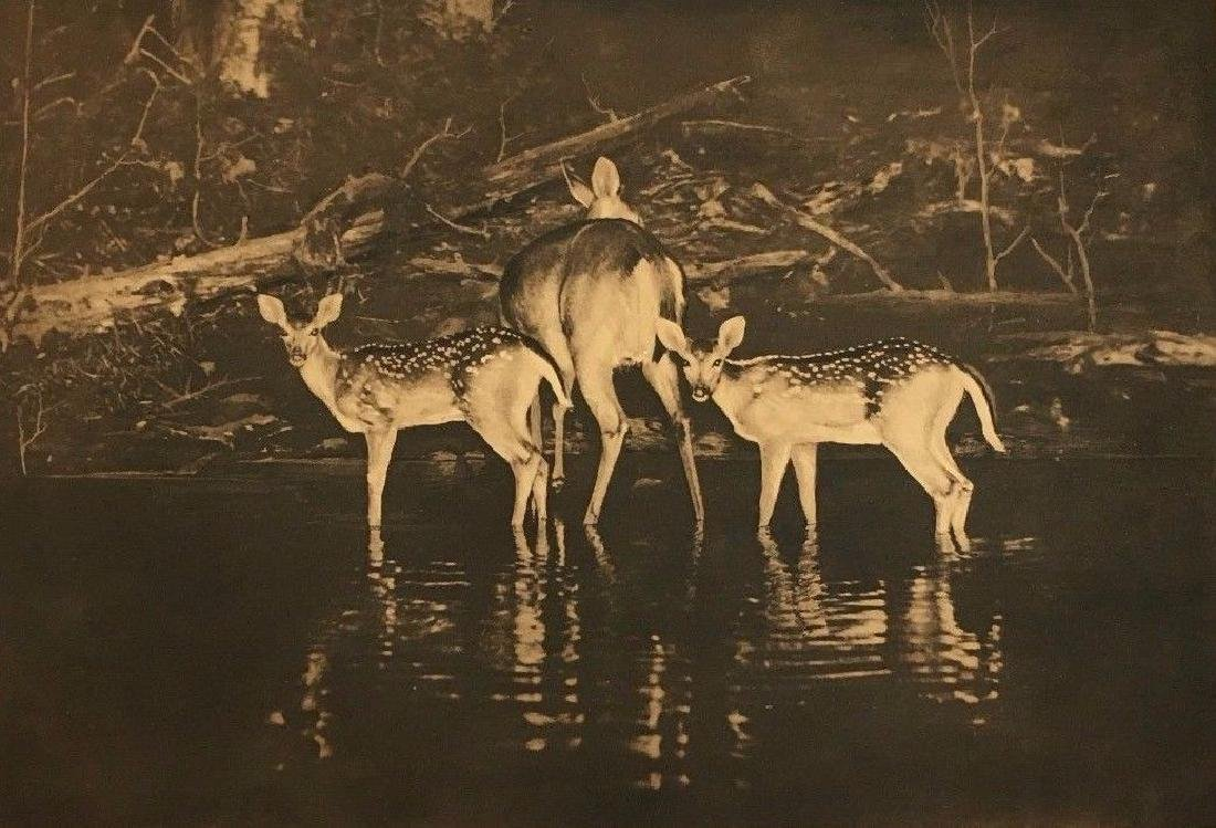 Antique George Shiras Deer Wildlife National Geographic