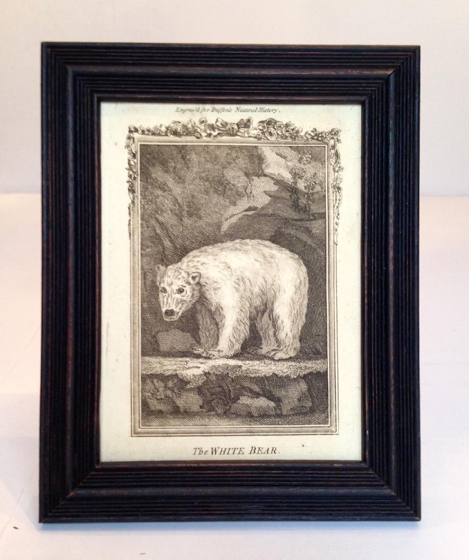 Circa 1800 Engraving of a White Bear