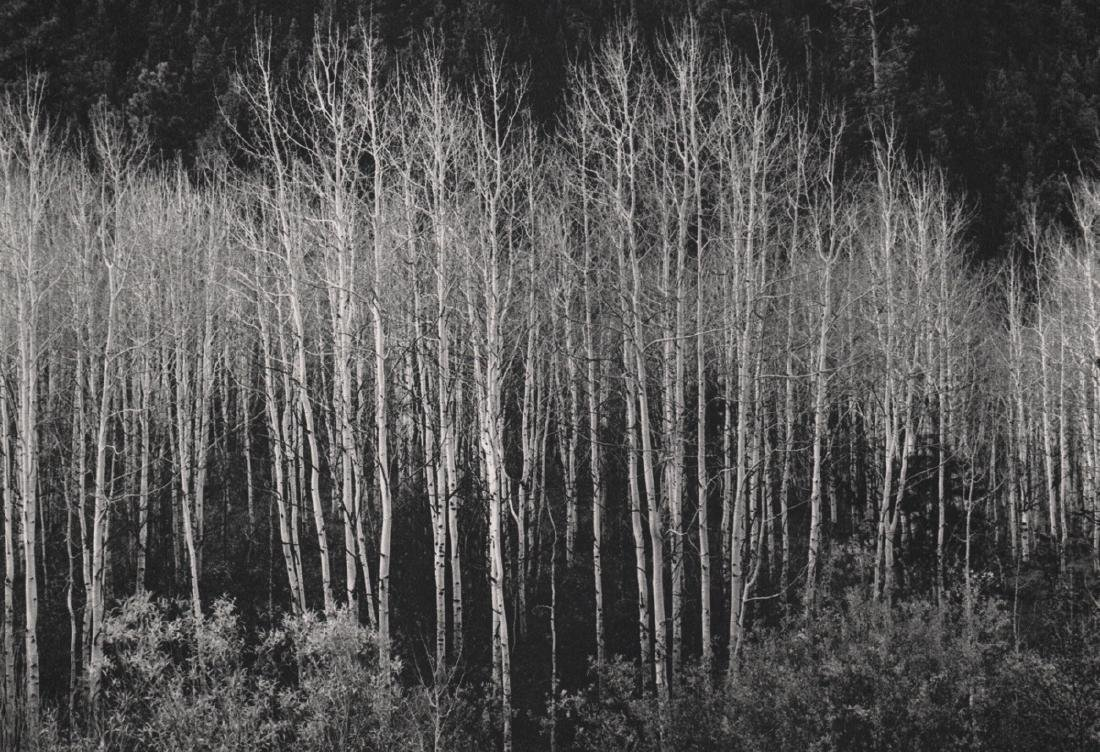 ANSEL ADAMS - Aspens, Autumn 1937