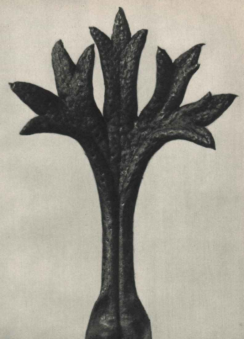 KARL BLOSSFELDT - Saxifraga Willkommniana