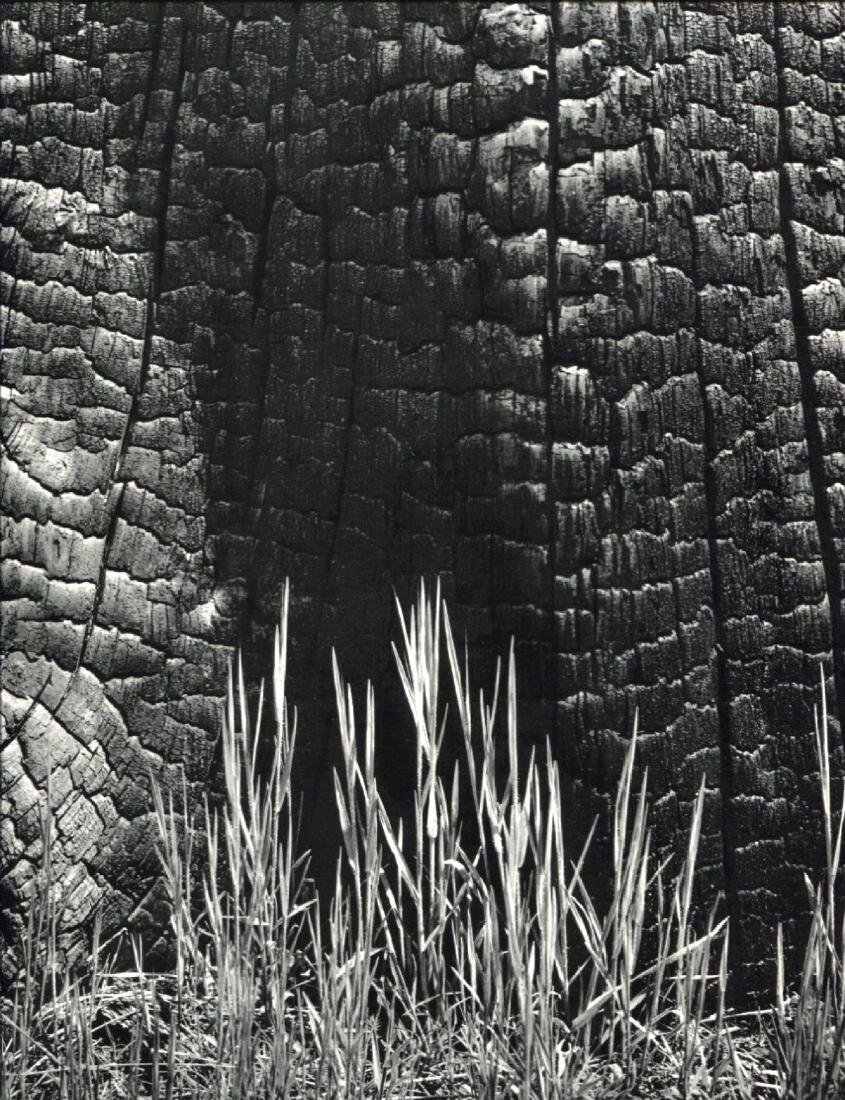 ANSEL ADAMS - Burnt Stump & New Grass
