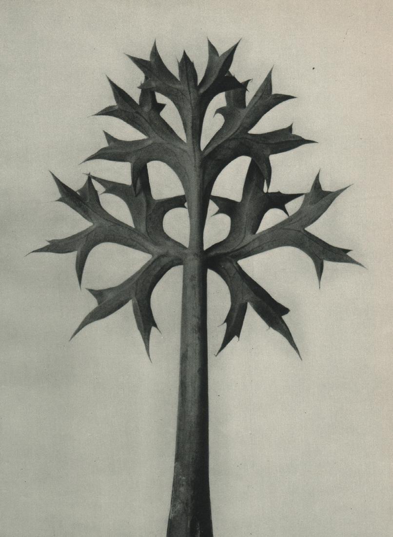 KARL BLOSSFELDT - Eryngium Bourgatii