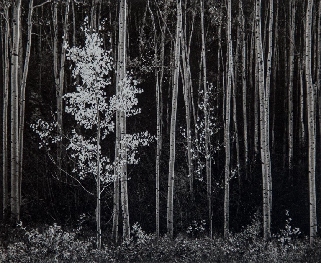 ANSEL ADAMS - Aspens, New Mexico, 1976