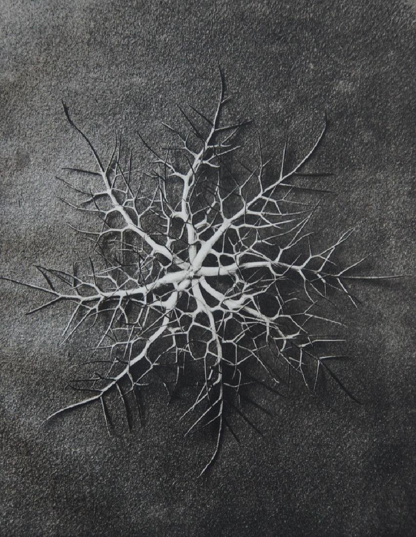 KARL BLOSSFELDT - Nigella Damascena, Spider's head