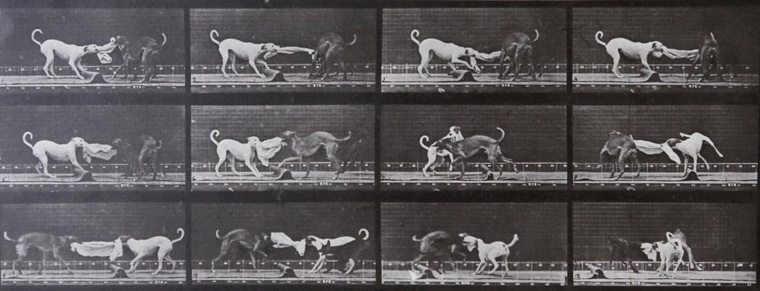 EADWEARD MUYBRIDGE - Dog fighting AL 715