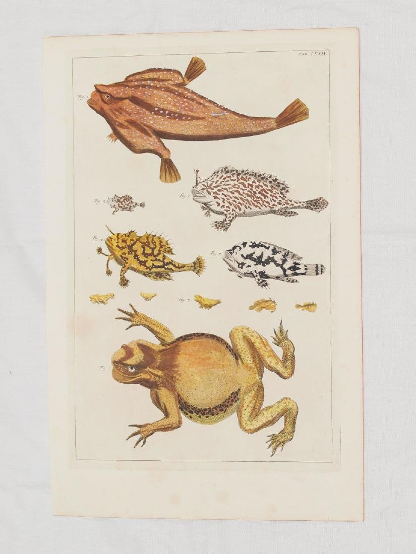 Frogs and Fishes, Copper Engraving Hand Coloured 1734