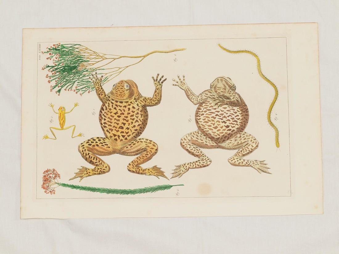 Frogs, Copper Engraving Coloured by Hand, Seba, 1734