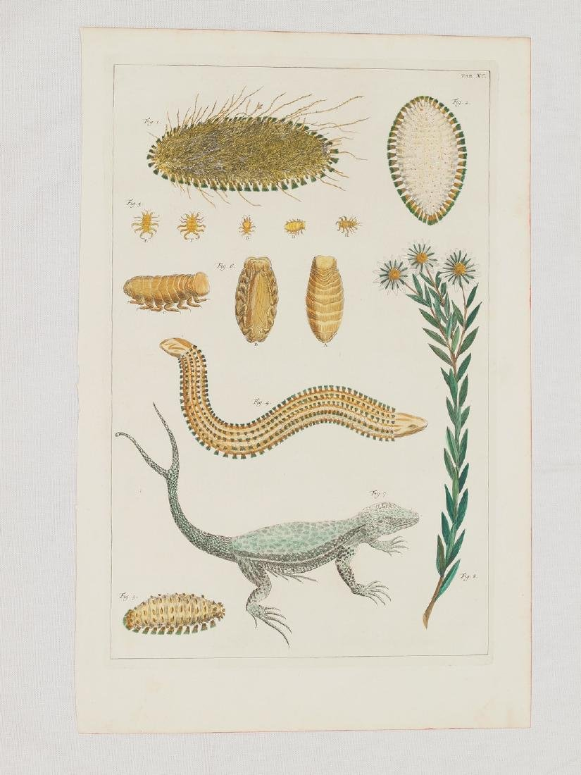 Lizard Double Tail, Copper Engraving Hand Coloured 1734