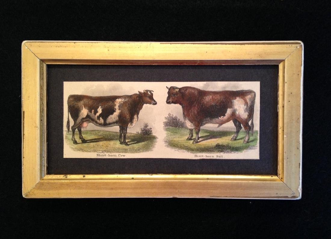 Bull Hand Colored Engraving 1830's