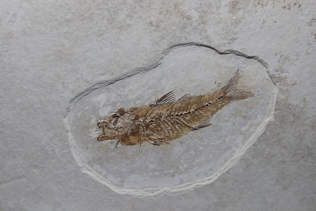Fossil fish : Dapalis macrurus - 2