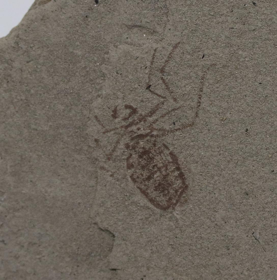 Extremely detailed fossil insect : Libellula doris