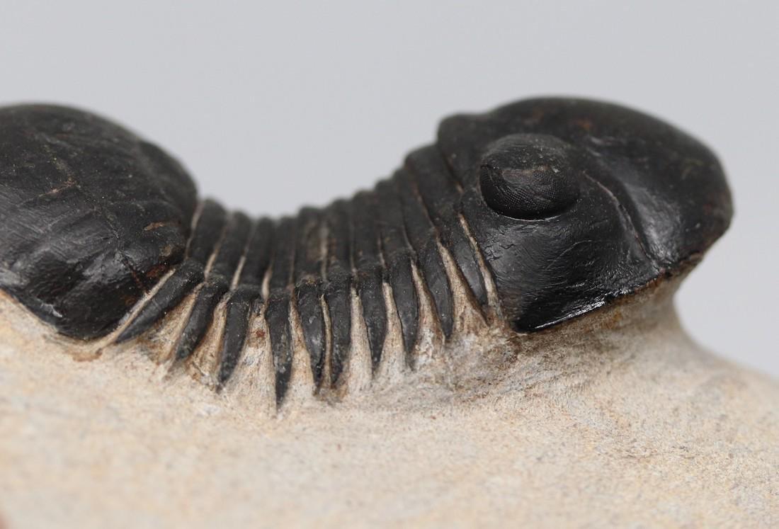 Fossil trilobite : Paralejurus rehamnanus - 2