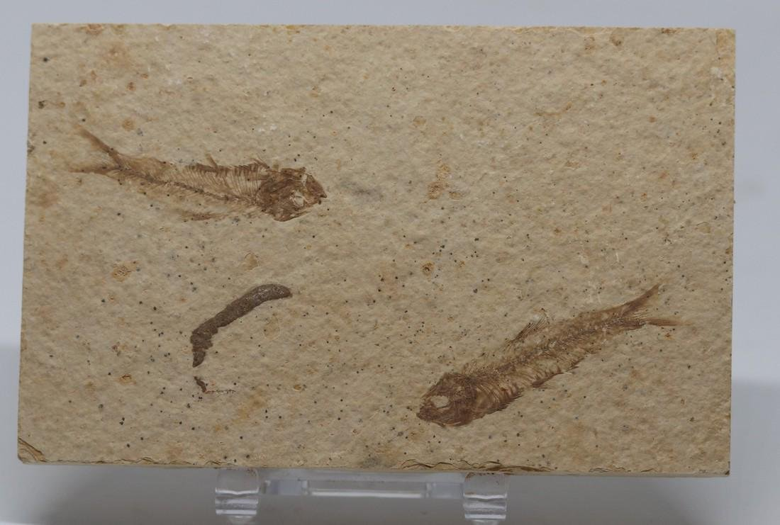 Matrix plate with 2 fine fossil fishes