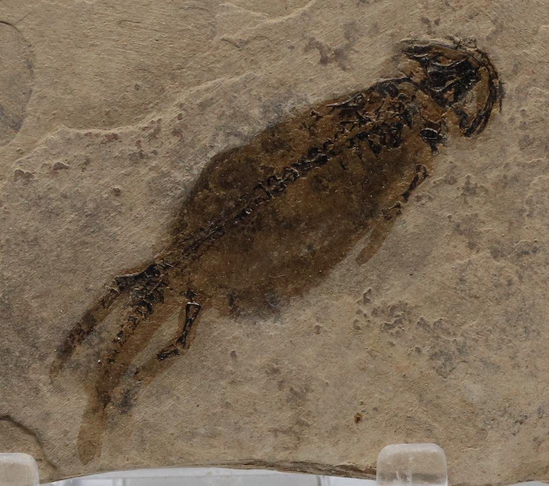 Detailed fossil amphibian : Branchiosaurus petrolei