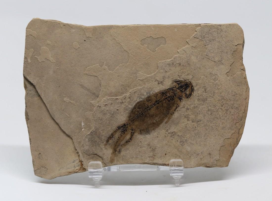 Detailed fossil amphibian : Branchiosaurus petrolei - 2