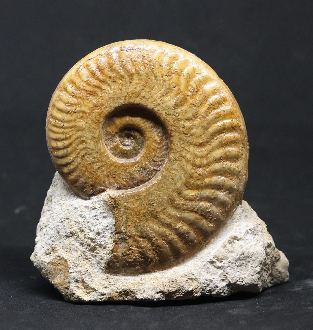 Jurassic fossil ammonite : Harpoceras serpentinum - 2
