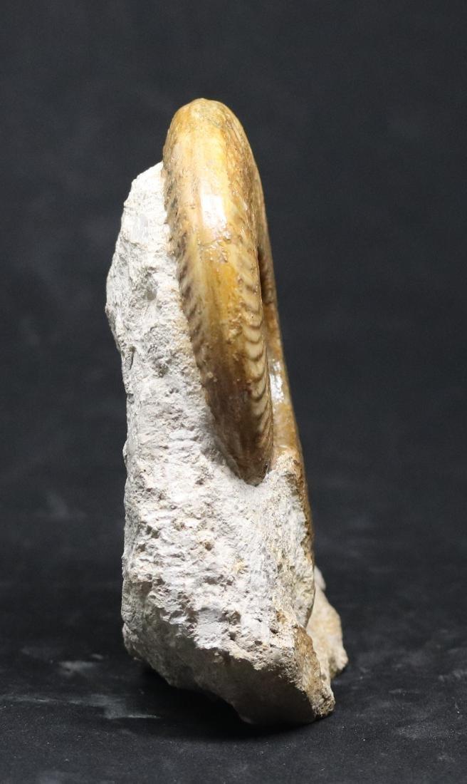 Jurassic fossil ammonite : Harpoceras serpentinum - 3