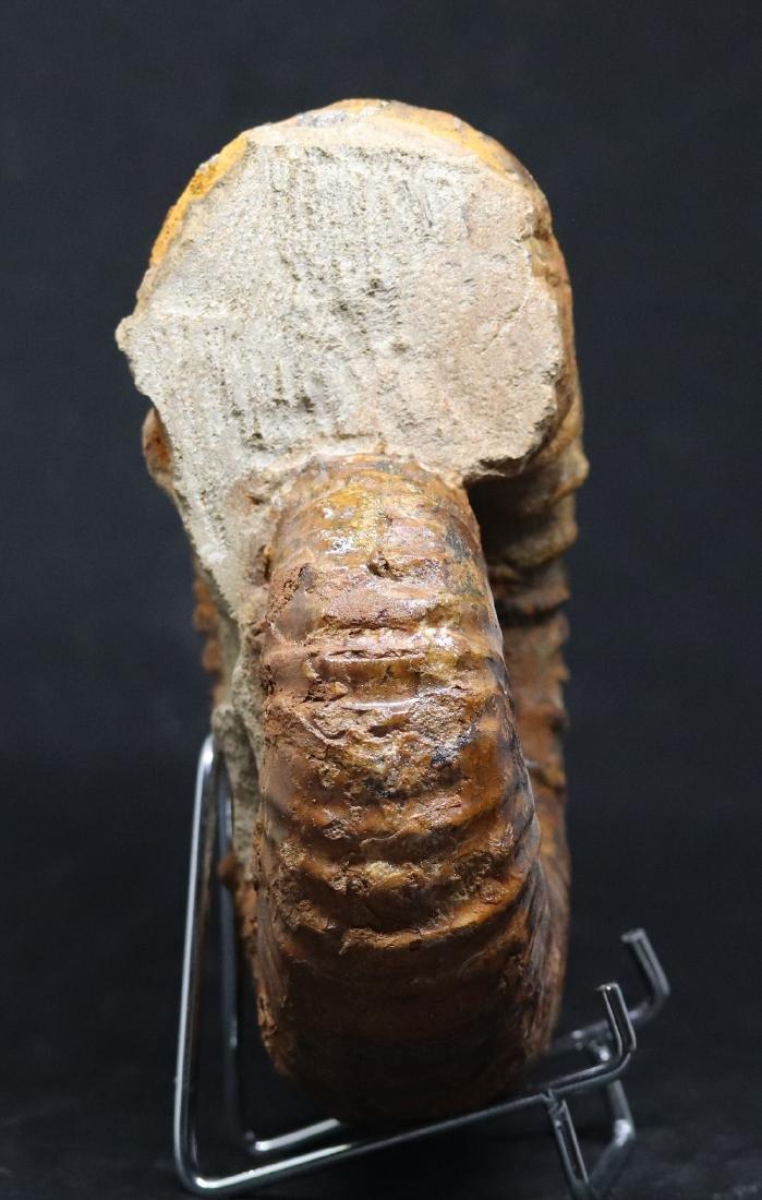 Impressive cretaceous ammonite : Calycoceras asiaticum - 2