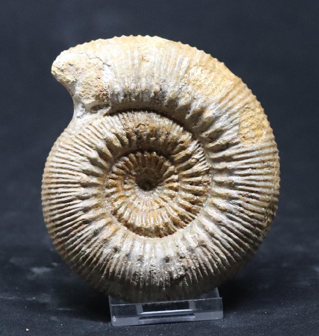 Nice jurassic ammonite : Stephanoceras mutabile
