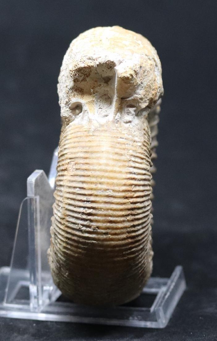 Nice jurassic ammonite : Stephanoceras mutabile - 2