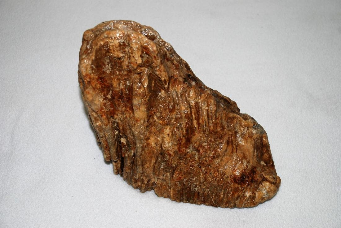 Woolly mammoth molar - 6