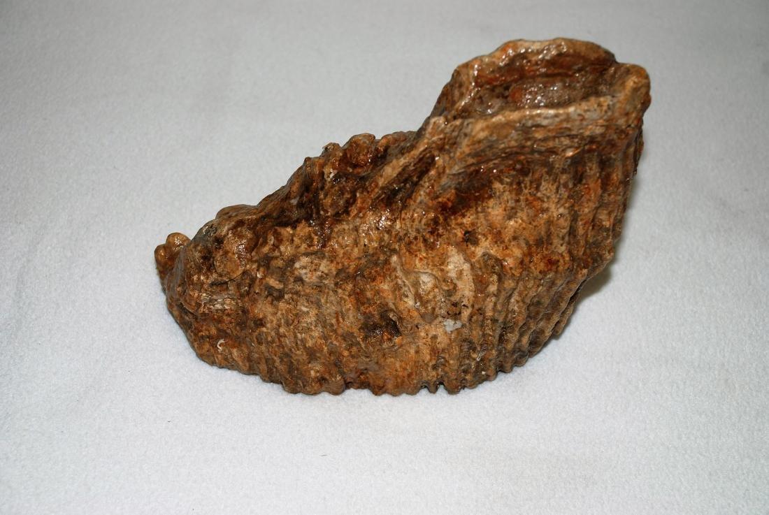 Woolly mammoth molar - 7