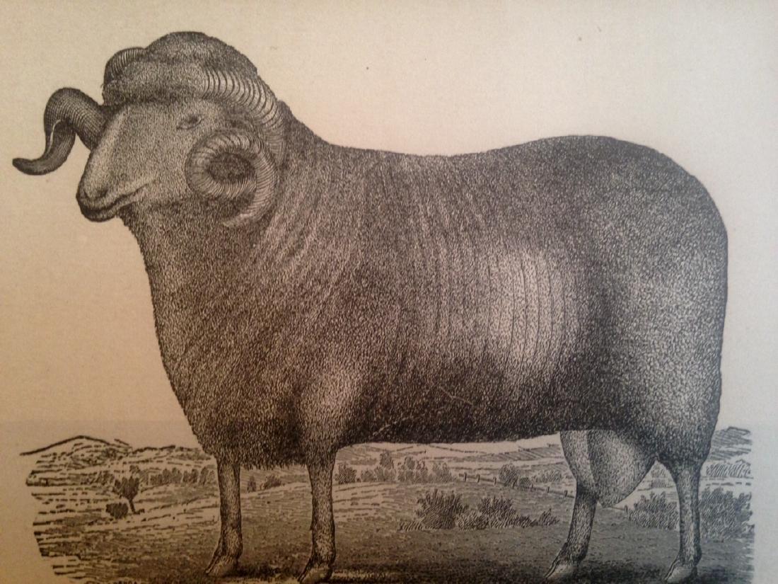 19thc Sheep Engraving - 2