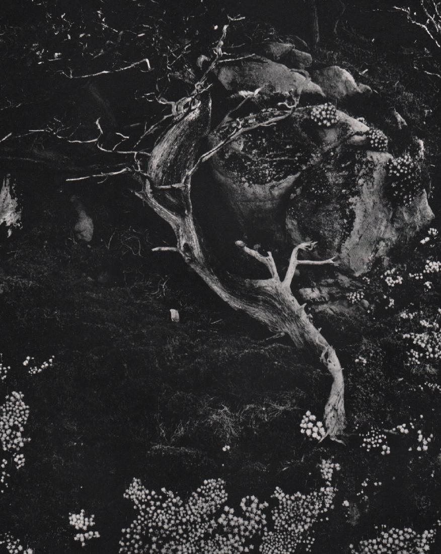 EDWARD WESTON - Stonecrop