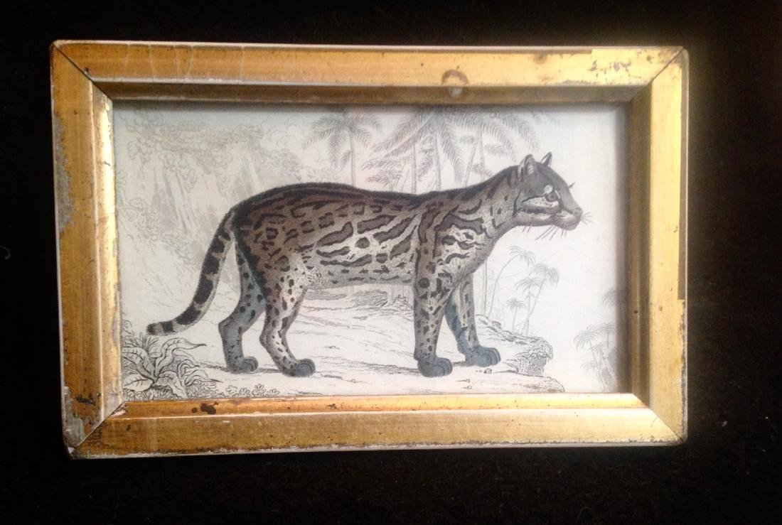 1836 Wild Cat Hand Colored Engraving