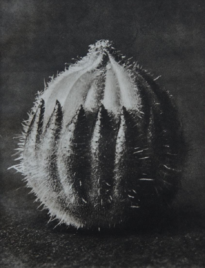 KARL BLOSSFELDT - Sempervivum Tectorum, Roof Leek