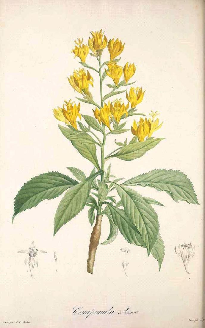 Redouté/Ventenat: Golden Bellflower of Madeira