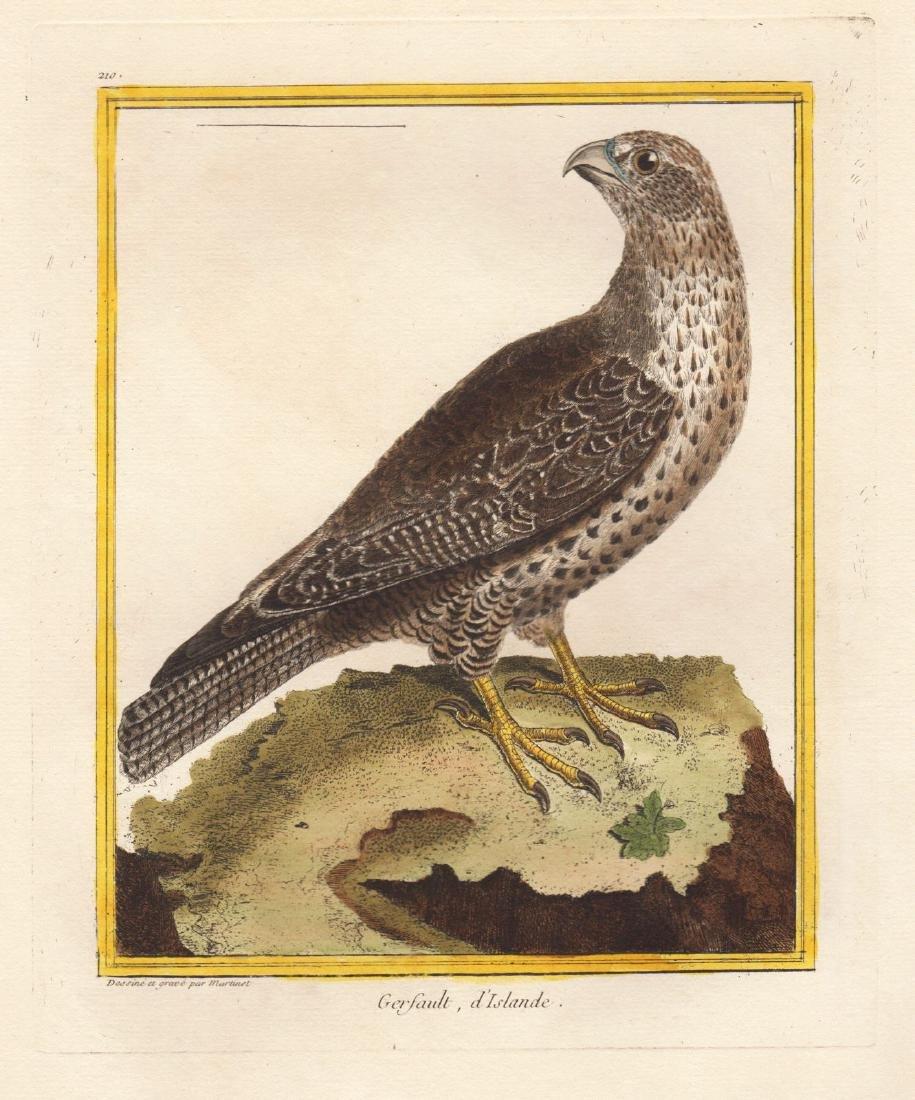 Martinet/Buffon: Icelandic Falcon