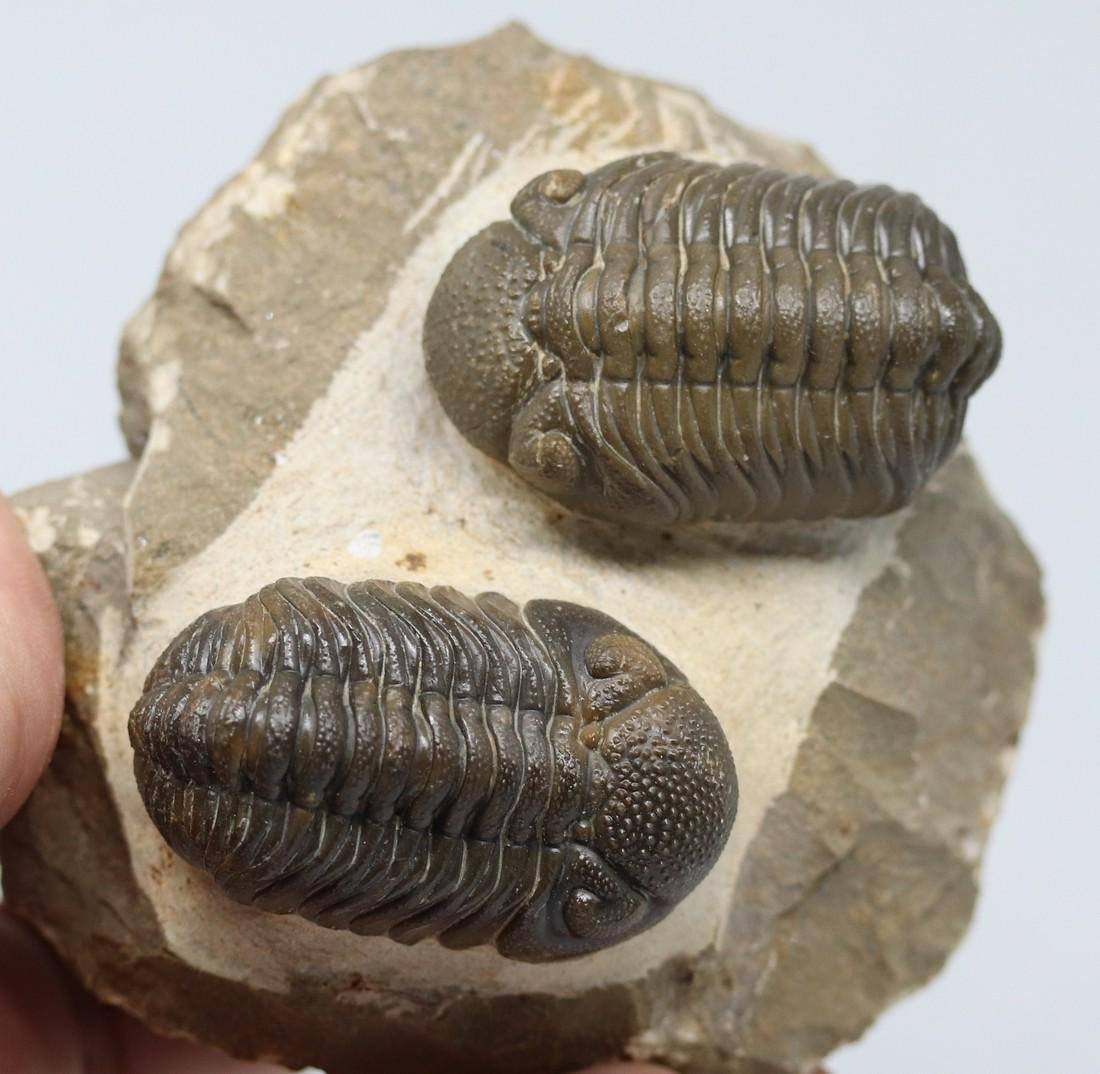 Outstanding natural green double fossil trilobites :