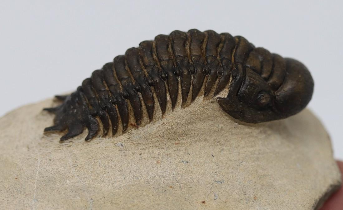Fossil trilobite : extra nice Crotalocephalus gibbus