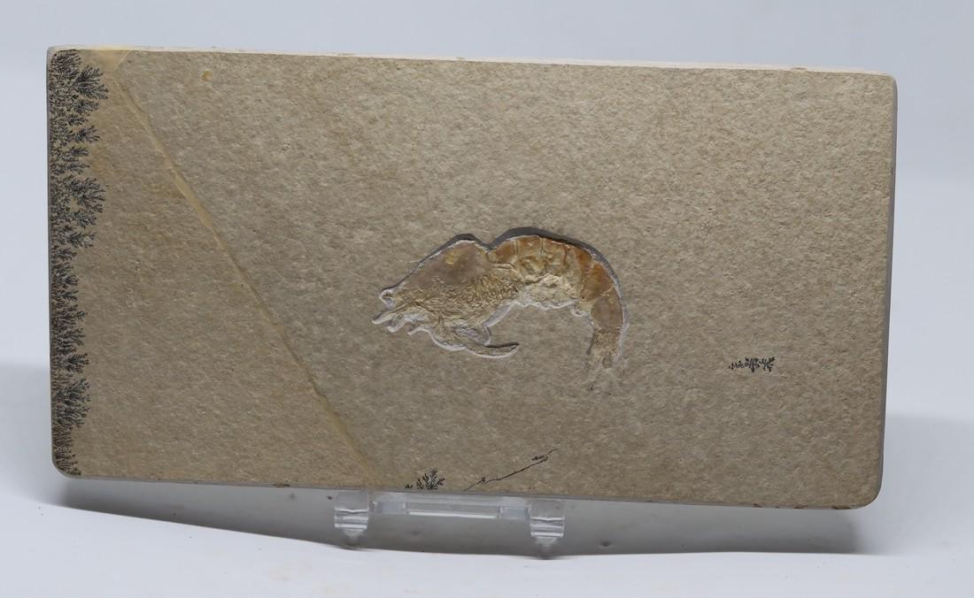 Fossil from Solnhofen : Franconipenaeus meyeri