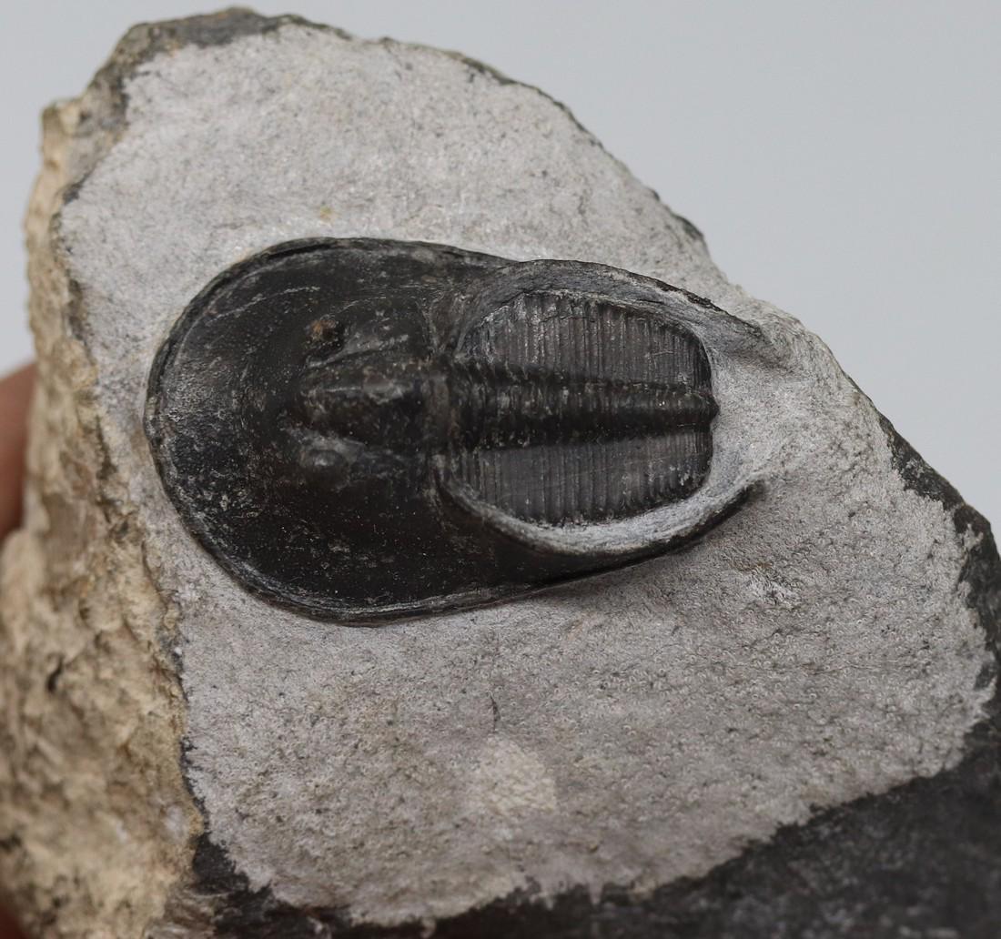Fossil trilobite : Harpes perradiatus