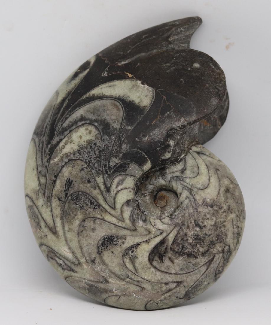 Paleozoic ammonite : big sized Manticoceras