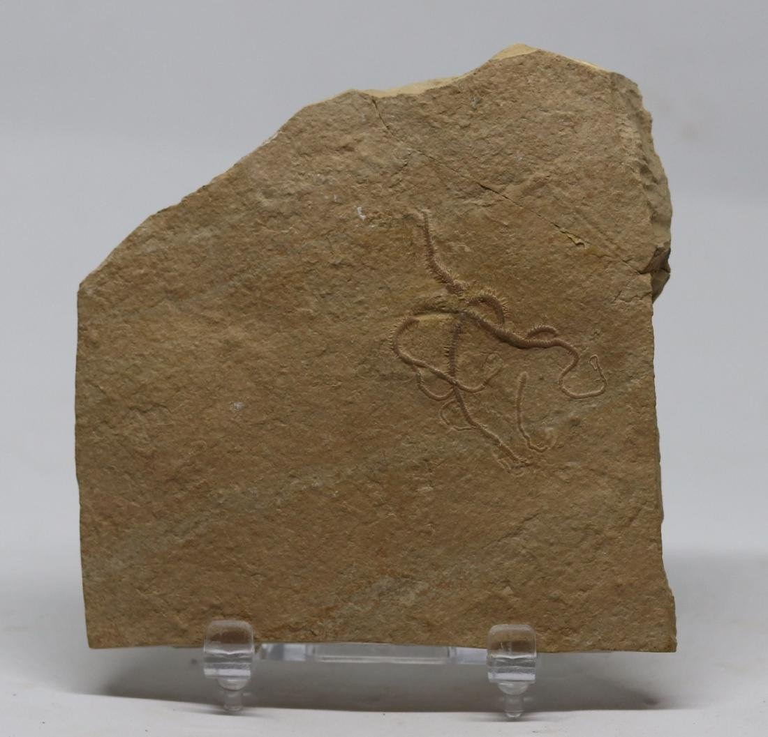 Detailed fossil starfish : Ophiopetra lithographica