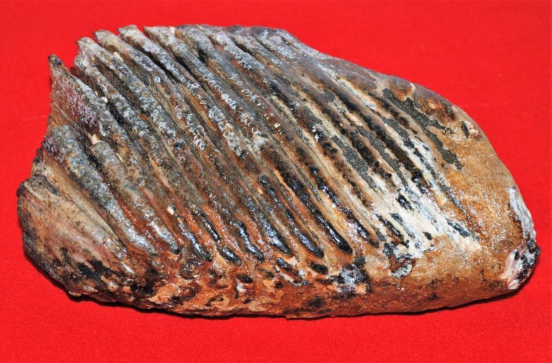 Woolly mammoth (Mammuthus primigenius), Molar