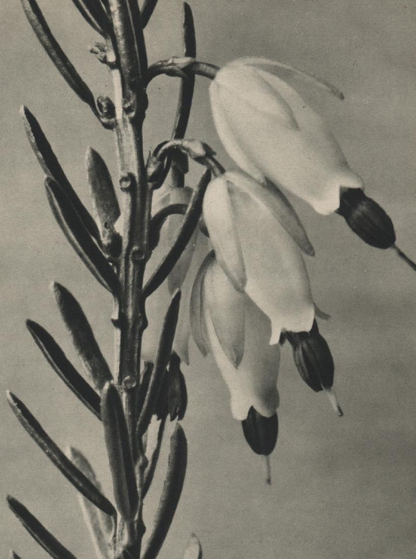 PROF. KARL BLOSSFELDT - Erica herbacea