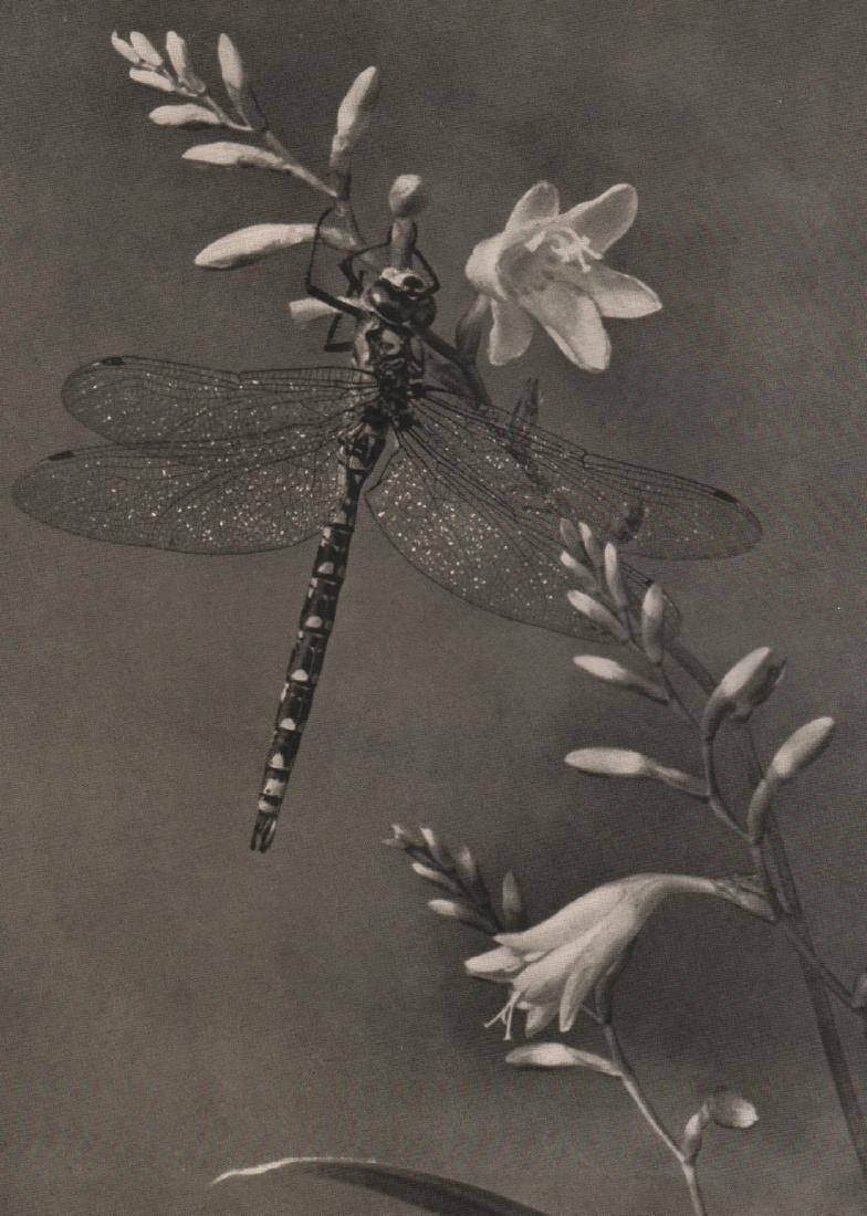 PAUL MEIDER-  Dragonfly