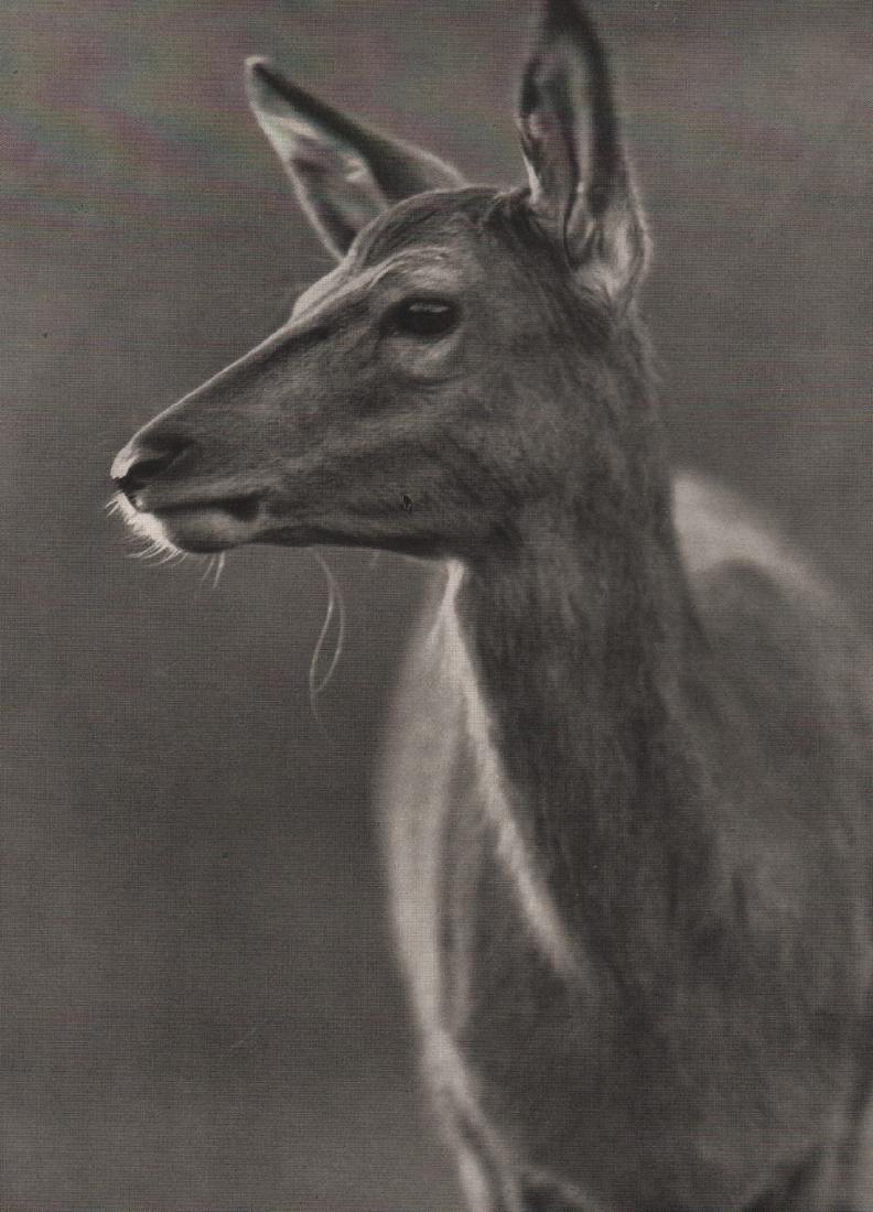 HORST SIEWERT - Red Calf