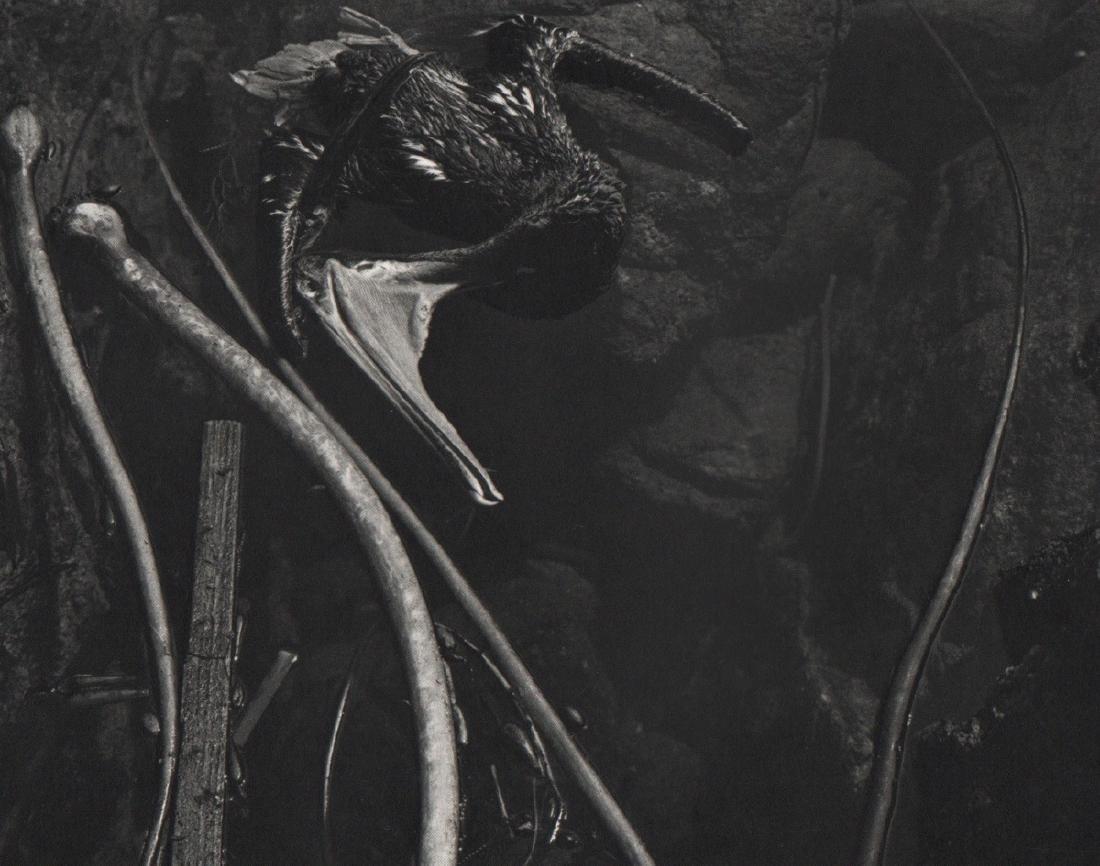 EDWARD WESTON - Dead Pelican