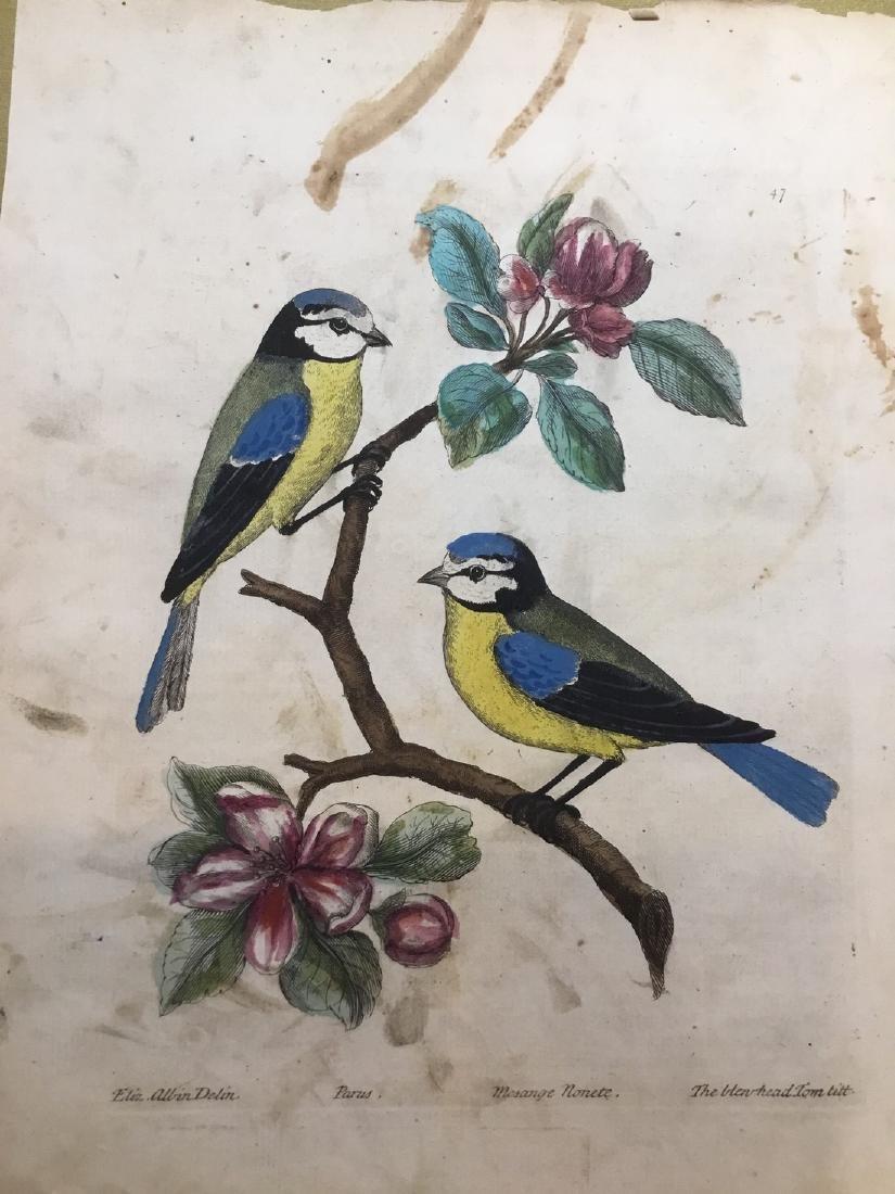 Antique Bird Engraving Print 1750