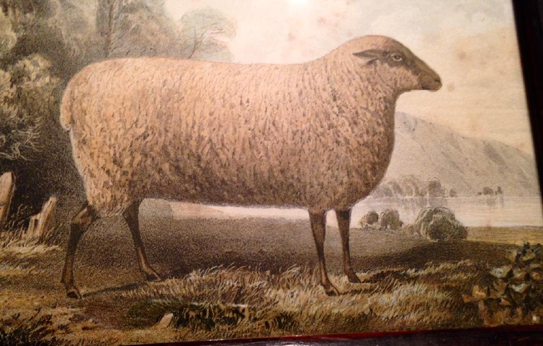 19thc Hand Colored Sheep Engraving in a Period Frame. - 2
