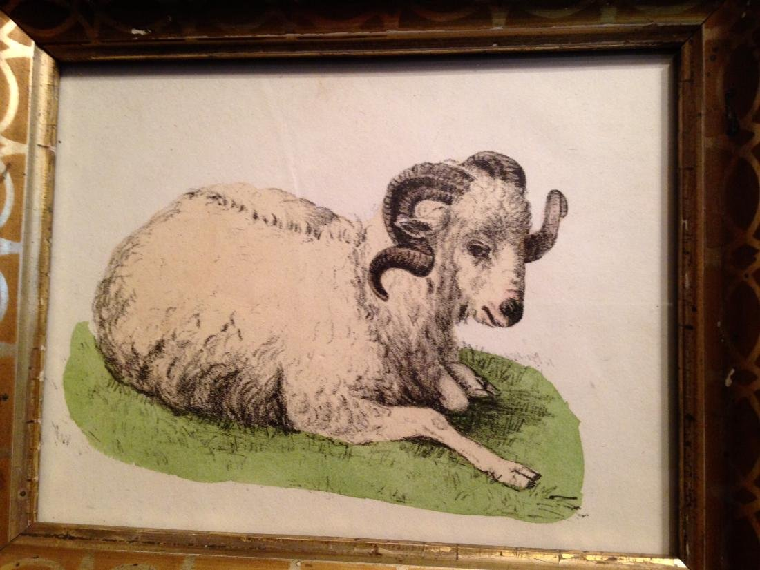 1855 Hand Colored Goat Engraving 19thc Gold Leaf Frame. - 2
