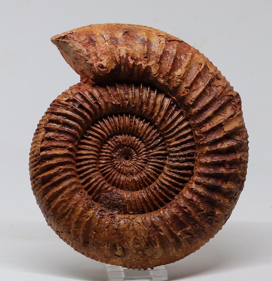 Jurassic ammonite : Kranaosphinctes roedereri